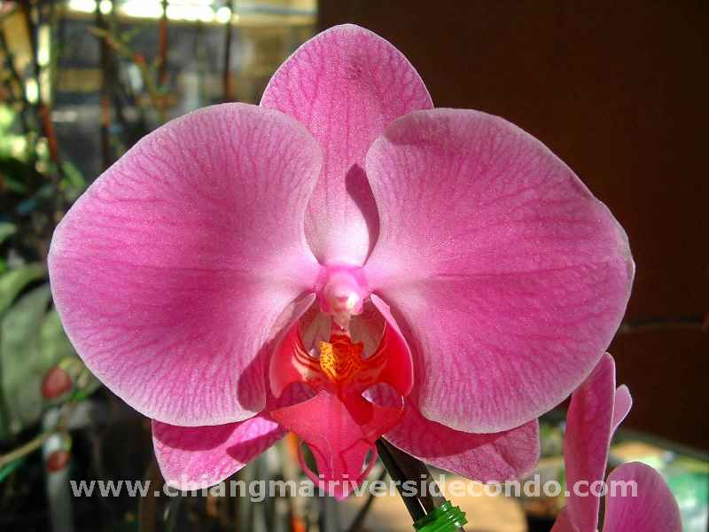 chiangmai-flower-parade-orchid.JPG